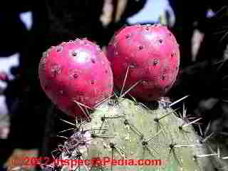 Mexican Nopal pricklypear cactus Tuna fruits © D Friedman at InspectApedia.com