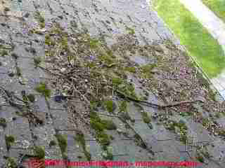 Photograph of mossy growth on asphalt roof shingles