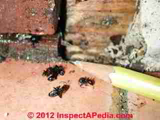 Carpenter ant infestation evidence (C) Daniel Friedman