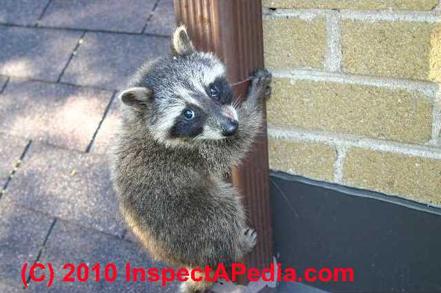How to Keep Raccoons Out of your Building Raccoon In Ceiling Mobile Home on raccoon in bedroom, raccoon in bed, raccoon in kitchen, raccoon in attic, raccoon in garage, raccoon in paint, raccoon in space, raccoon in room, raccoon in box, raccoon in office, raccoon in sink, raccoon in building, raccoon in water, raccoon in bathroom, raccoon in log, raccoon home, raccoon in bath, raccoon in wall, raccoon in the floor, raccoon in chair,