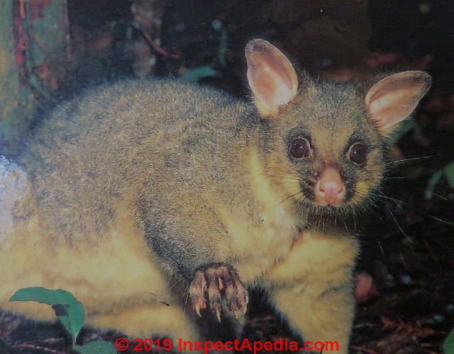 Possum Removal From Buildings Wildlife Removal