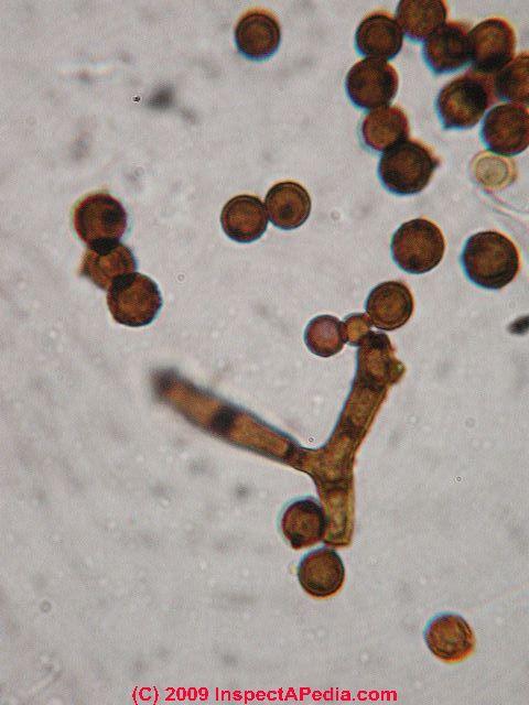 Image Result For Black Mold Detection