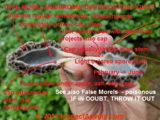 Photo guide to identification points on a true morel mushroom - edible (C) Daniel Friedman POISON WARNING: WHEN IN DOUBT THROW IT OUT DO NOT EAT IT