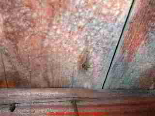 Photograph: toxic mold on pine tongue and groove roof sheathing - © Daniel Friedman