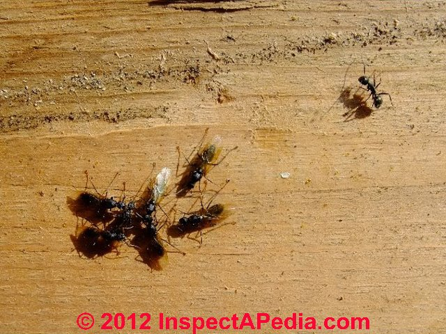 Carpenter Ants Recognition Inspection For Infestation